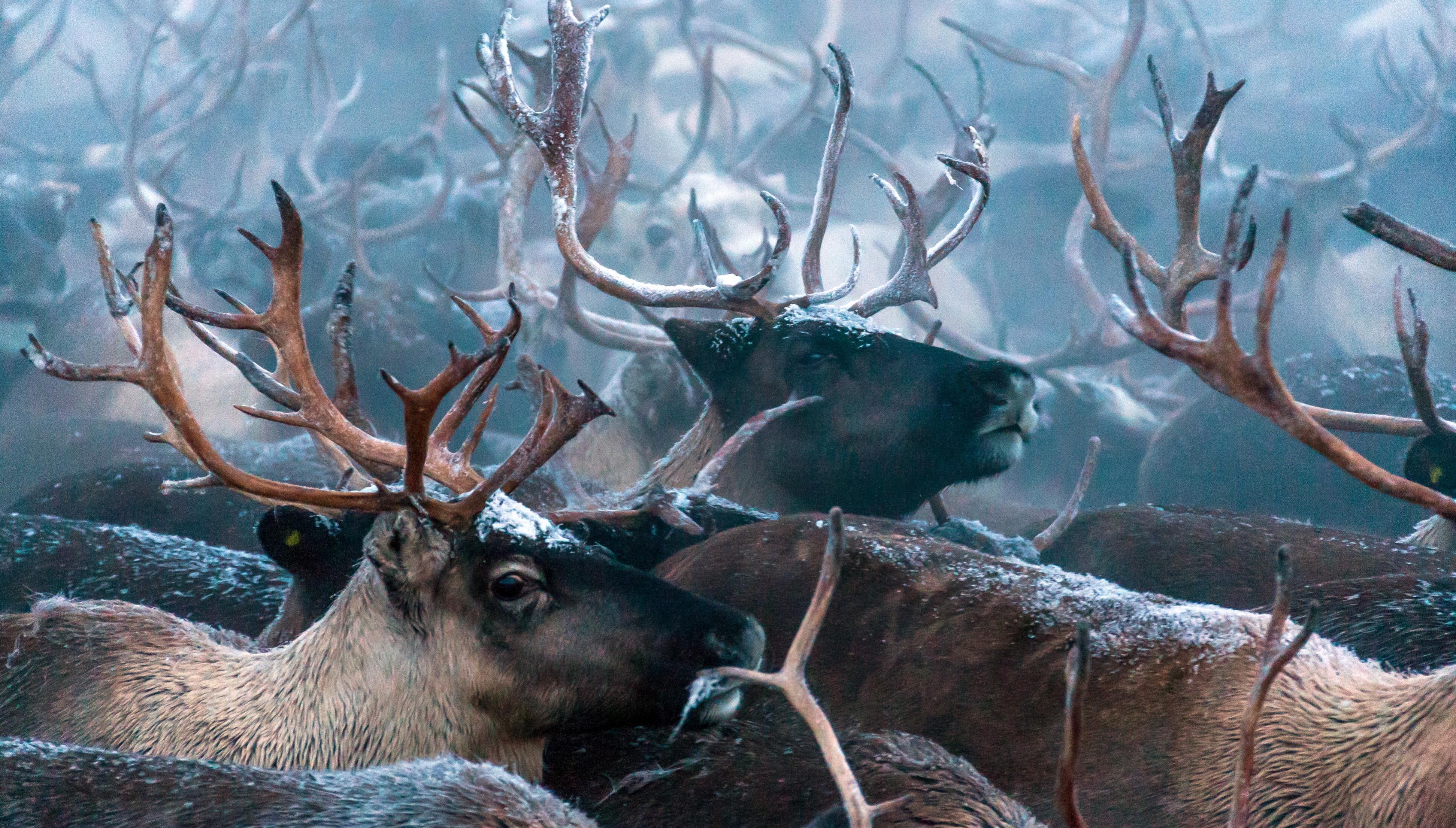 В Якутии впервые провели авиамониторинг численности диких северных оленей
